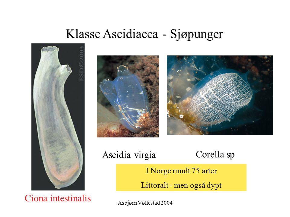 Asbjørn Vøllestad 2004 Klasse Ascidiacea - Sjøpunger Ciona intestinalis Ascidia virgia Corella sp I Norge rundt 75 arter Littoralt - men også dypt