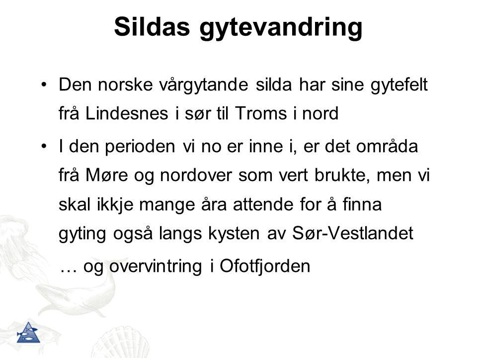 Sildas gytevandring Den norske vårgytande silda har sine gytefelt frå Lindesnes i sør til Troms i nord I den perioden vi no er inne i, er det områda f
