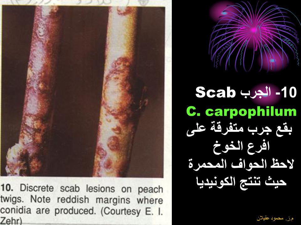 8\6\2004 م. ز. محمود عقيلان 9- الجرب Scab Cladosporium carpophilum (T. Venturia carpophila) بقع نموذجية للجرب مع هالة واضحة على ثمار ابو فروة