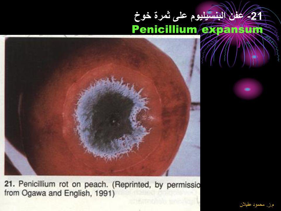 8\6\2004 م. ز. محمود عقيلان 20- عفن ميوكر Mucor spp نلاحظ الميسيليوم الهوائي المميز والحوامل الجرثومية المميزة للفطر على ثمرة الخوخ