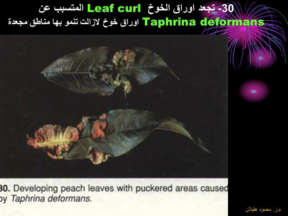8\6\2004 م. ز. محمود عقيلان 29- تبقع اوراق الكرز Cherry leaf spot المتسبب عن Blumeriella jaapii(syn. Coccomyces) وطوره الكونيدي هو Phloeosporella padi