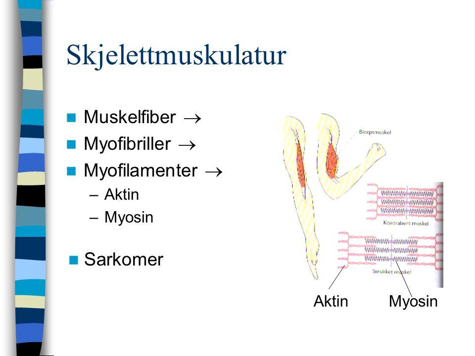 Skjelettmuskulatur Muskelfiber  Myofibriller  Myofilamenter  –Aktin –Myosin Sarkomer AktinMyosin