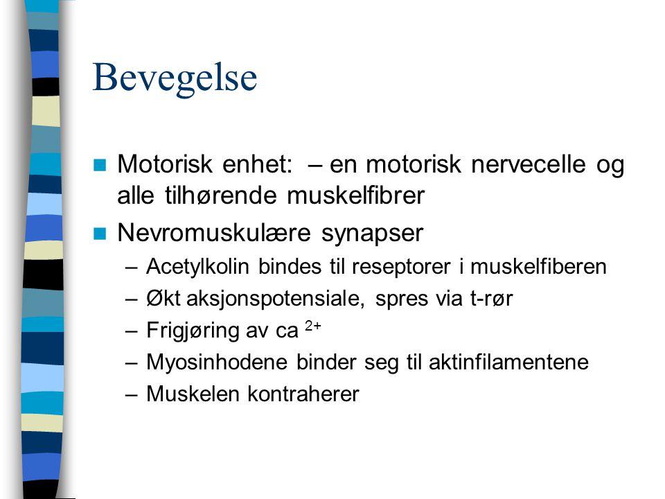 Bevegelse Motorisk enhet: – en motorisk nervecelle og alle tilhørende muskelfibrer Nevromuskulære synapser –Acetylkolin bindes til reseptorer i muskel