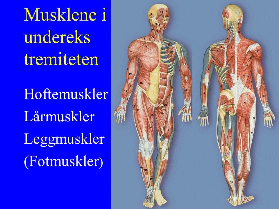 Leggmuskulatur (dorsal gruppe) U: Utside og innside nederst på lårbenet F: Achilles V: Plantarfleksjon (fotrygg fra legg) Understøtter fleksjon i kneet M.Gastrocnemius (tohodede tykkleggsmuskel)