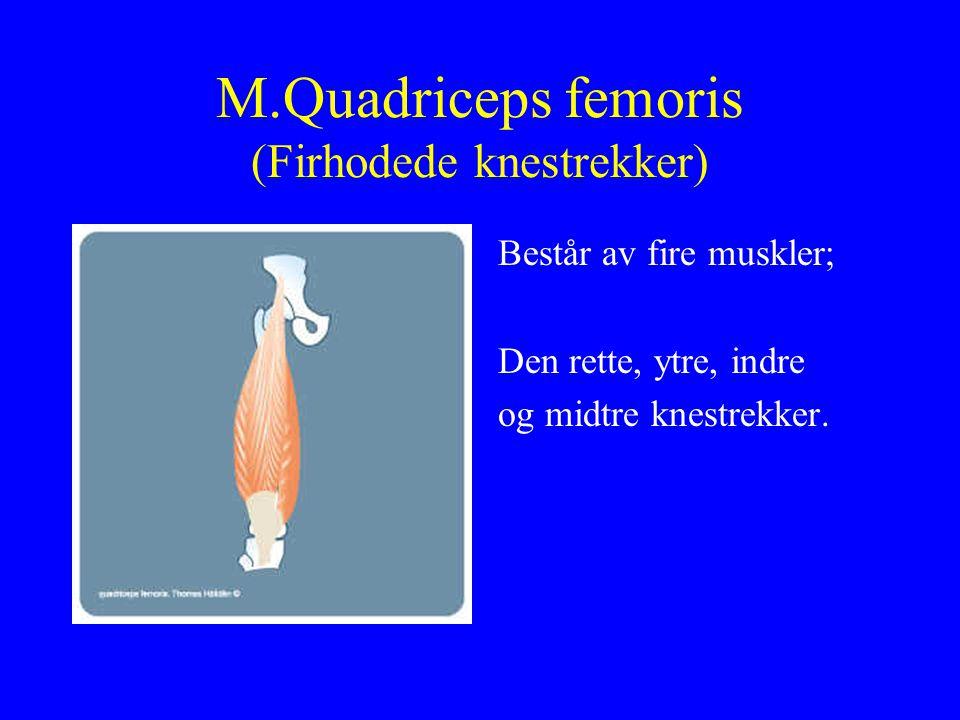 M.Quadriceps femoris (Firhodede knestrekker) Består av fire muskler; Den rette, ytre, indre og midtre knestrekker.