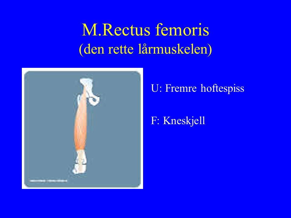 M.Rectus femoris (den rette lårmuskelen) U: Fremre hoftespiss F: Kneskjell