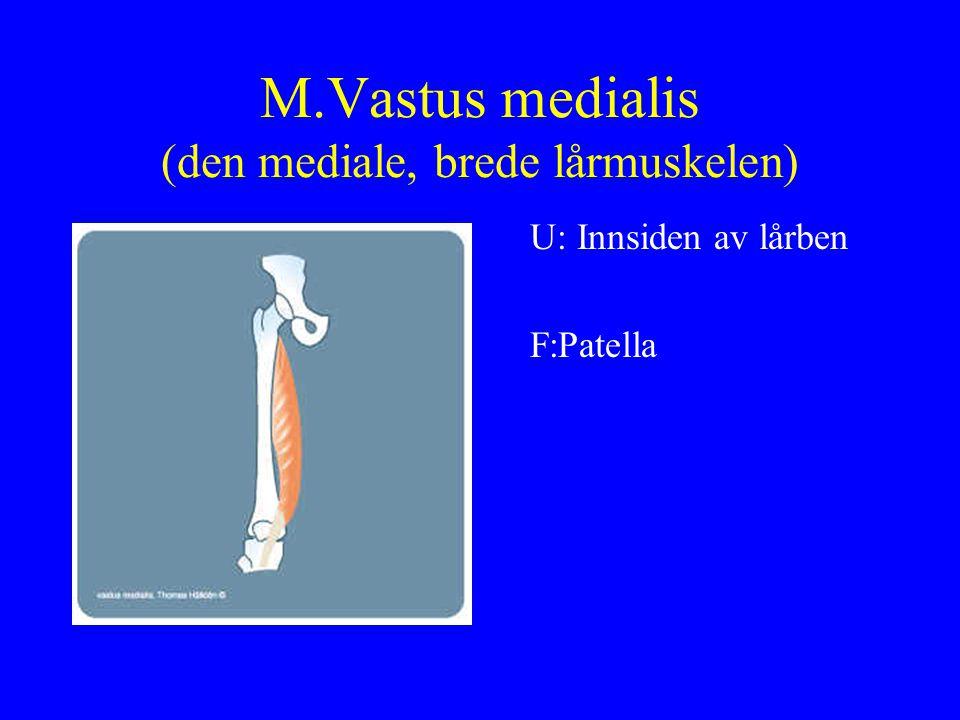 M.Vastus medialis (den mediale, brede lårmuskelen) U: Innsiden av lårben F:Patella