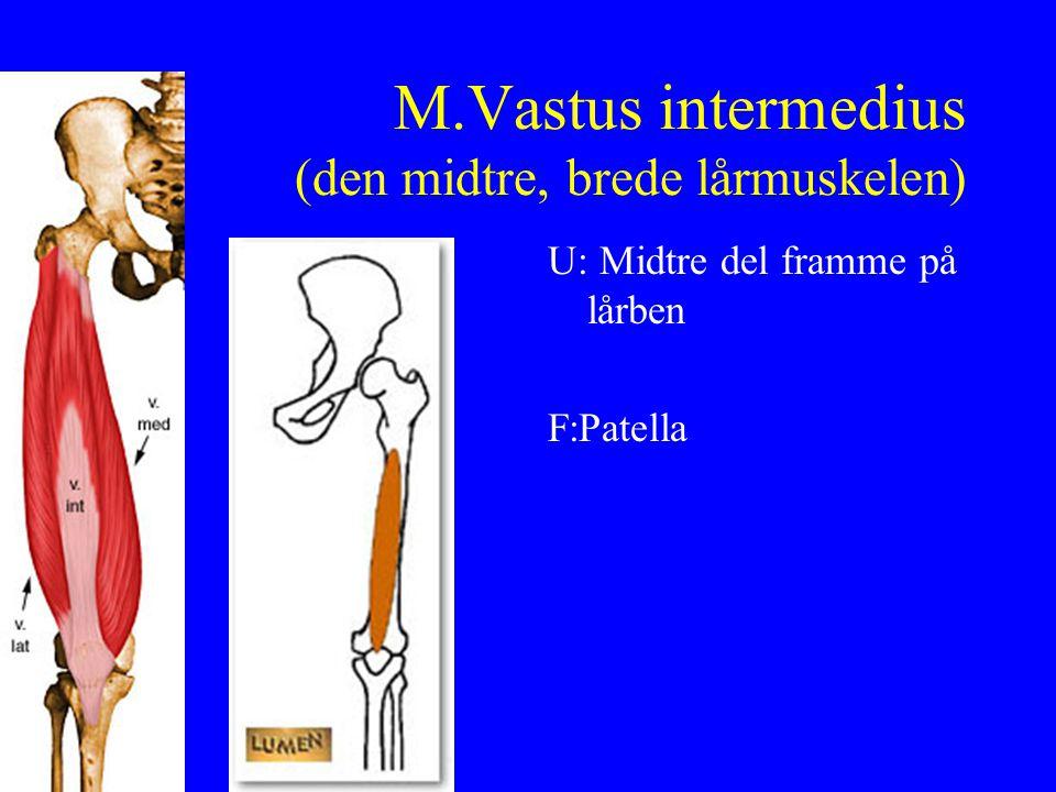 M.Vastus intermedius (den midtre, brede lårmuskelen) U: Midtre del framme på lårben F:Patella