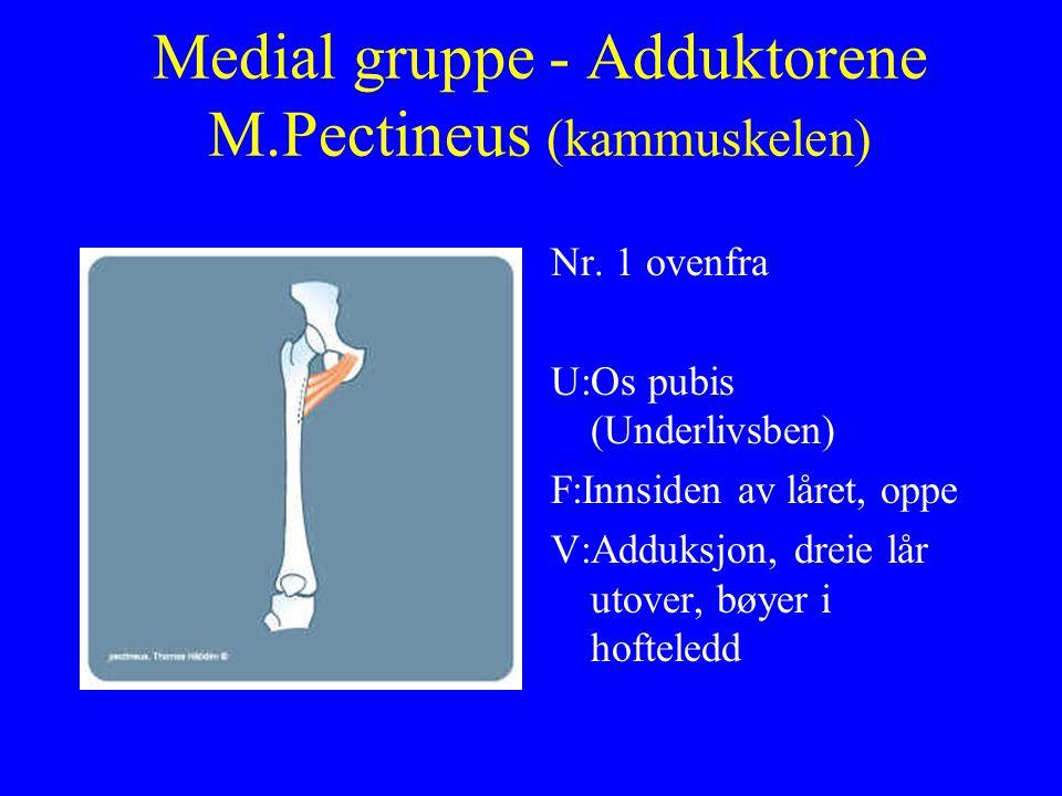Medial gruppe - Adduktorene M.Pectineus (kammuskelen) Nr. 1 ovenfra U:Os pubis (Underlivsben) F:Innsiden av låret, oppe V:Adduksjon, dreie lår utover,