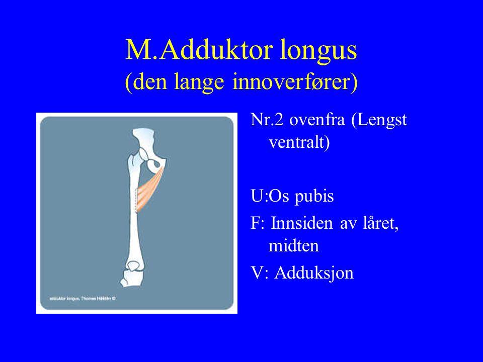 M.Adduktor longus (den lange innoverfører) Nr.2 ovenfra (Lengst ventralt) U:Os pubis F: Innsiden av låret, midten V: Adduksjon