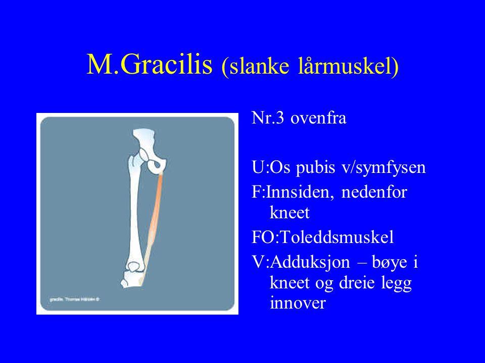 M.Gracilis (slanke lårmuskel) Nr.3 ovenfra U:Os pubis v/symfysen F:Innsiden, nedenfor kneet FO:Toleddsmuskel V:Adduksjon – bøye i kneet og dreie legg