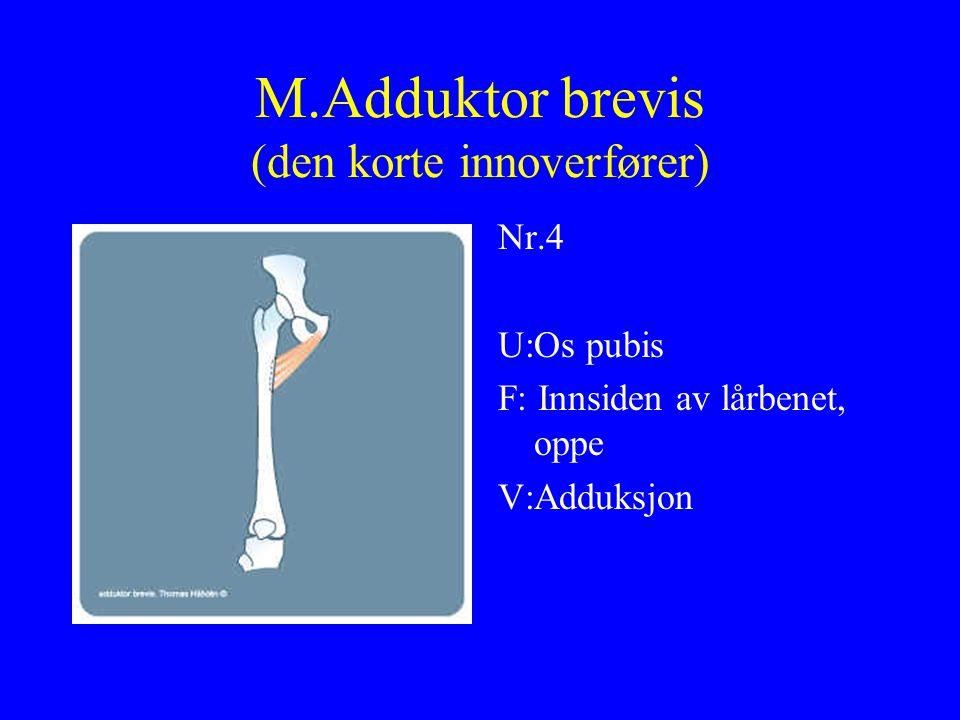 M.Adduktor brevis (den korte innoverfører) Nr.4 U:Os pubis F: Innsiden av lårbenet, oppe V:Adduksjon