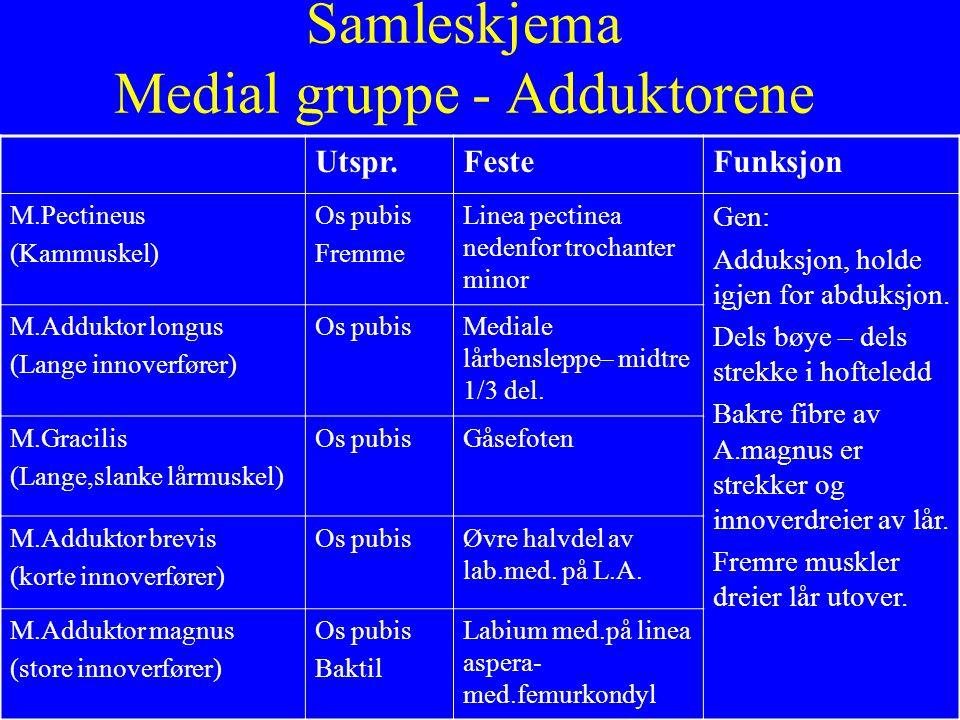 Samleskjema Medial gruppe - Adduktorene Utspr.FesteFunksjon M.Pectineus (Kammuskel) Os pubis Fremme Linea pectinea nedenfor trochanter minor Gen: Addu