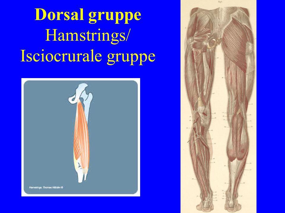 Dorsal gruppe Hamstrings/ Isciocrurale gruppe