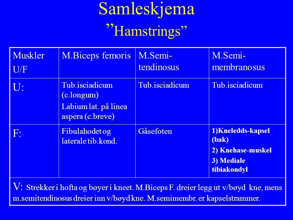 """Samleskjema """" Hamstrings"""" Muskler U/F M.Biceps femorisM.Semi- tendinosus M.Semi- membranosus U: Tub.isciadicum (c.longum) Labium lat. på linea aspera"""