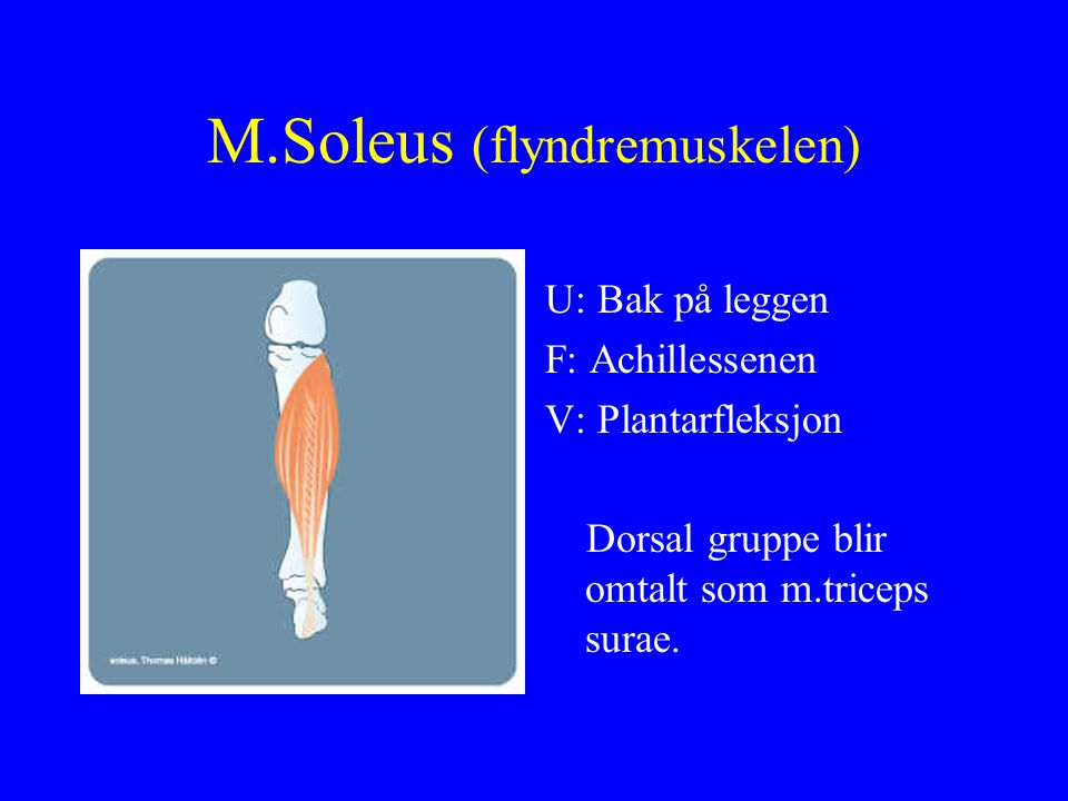 M.Soleus (flyndremuskelen) U: Bak på leggen F: Achillessenen V: Plantarfleksjon Dorsal gruppe blir omtalt som m.triceps surae.