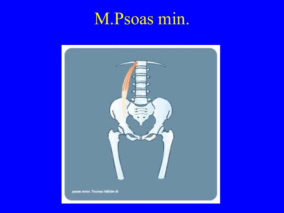 M.Biceps femoris (caput longum) ( Tohodede knebøyer) U: Sittebensknuten F: Utsiden av leggen, under kneet V(Se neste bilde)
