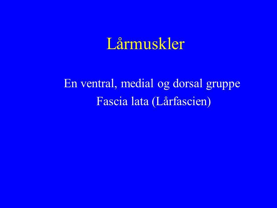 Lårmuskler En ventral, medial og dorsal gruppe Fascia lata (Lårfascien)
