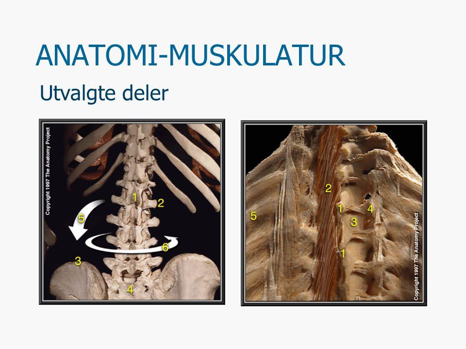 Musklene på truncus Halsmuskler De egentlige ryggmusklene Brystkassens muskulatur Bukmuskulatur Bekkenbunnens muskulatur