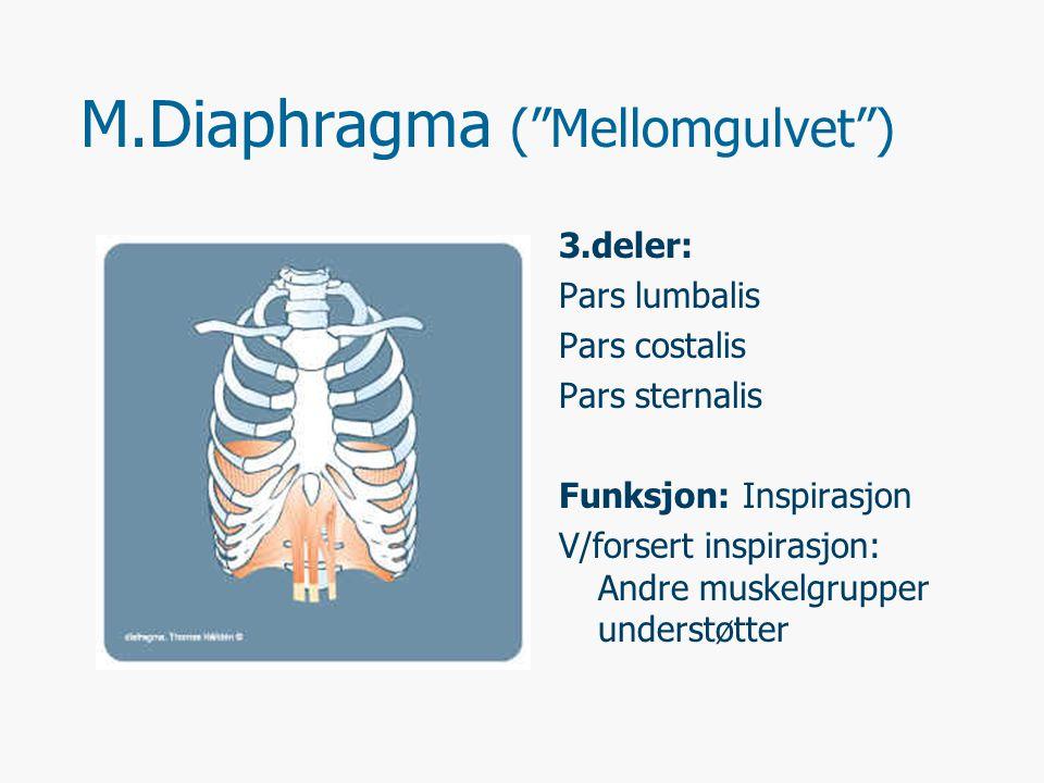 M.Diaphragma ( Mellomgulvet ) 3.deler: Pars lumbalis Pars costalis Pars sternalis Funksjon: Inspirasjon V/forsert inspirasjon: Andre muskelgrupper understøtter