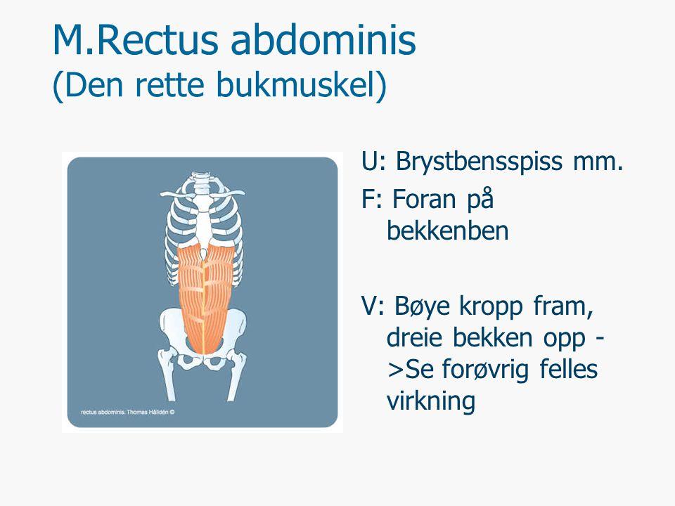 M.Rectus abdominis (Den rette bukmuskel) U: Brystbensspiss mm. F: Foran på bekkenben V: Bøye kropp fram, dreie bekken opp - >Se forøvrig felles virkni