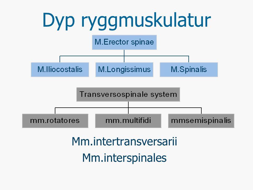 M.Erector spinae M.Iliocostalis (tarmben-ribbemuskelen) M.longissimus (lange ryggstrekker) M.Spinalis (Lange ryggtaggsmuskel)