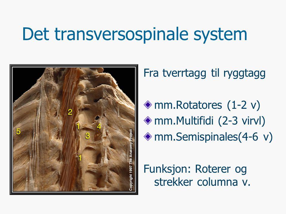 Korte muskler mellom virvler mm.Intertransversarii Forløp: Mellom tverrtagger Funksjon: Strekker virvelsøylen mm.Interspinales Forløp: Mellom ryggtagger Funksjon: Strekker virvelsøylen