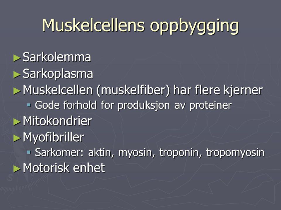 Muskelcellens oppbygging ► Sarkolemma ► Sarkoplasma ► Muskelcellen (muskelfiber) har flere kjerner  Gode forhold for produksjon av proteiner ► Mitoko