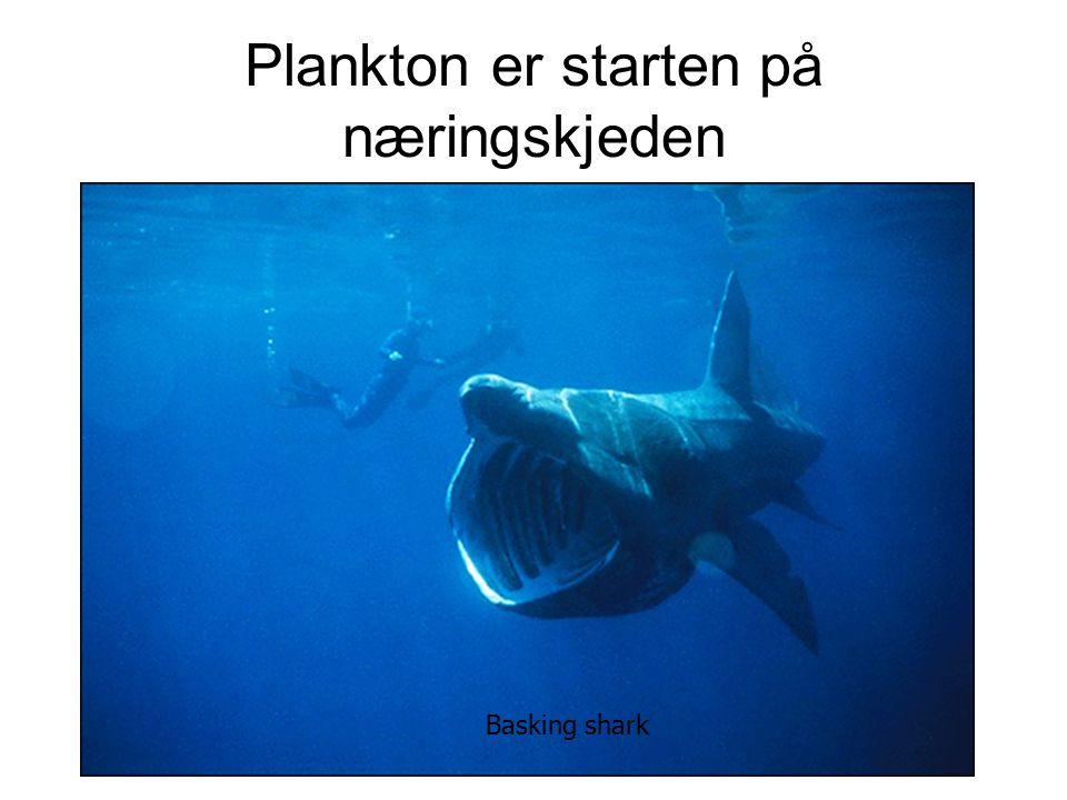 Plankton er starten på næringskjeden Basking shark