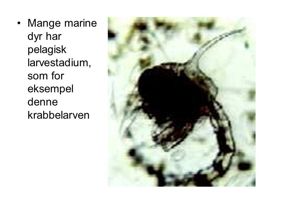 Mange marine dyr har pelagisk larvestadium, som for eksempel denne krabbelarven