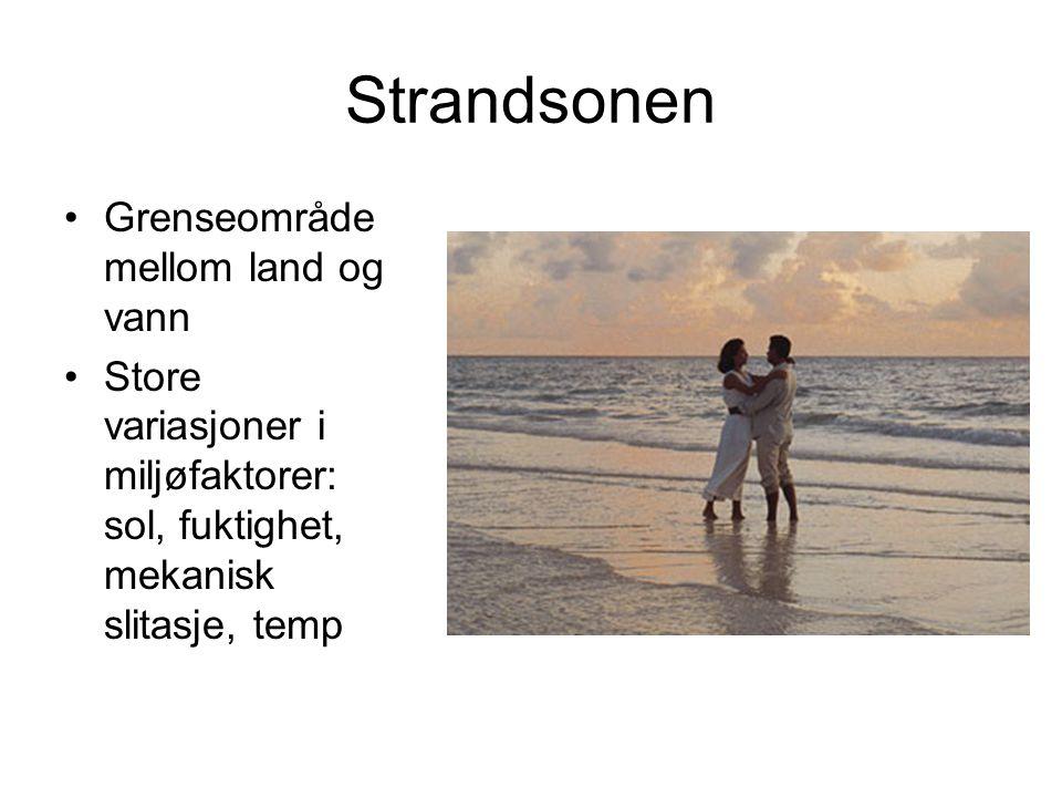Strandsonen Grenseområde mellom land og vann Store variasjoner i miljøfaktorer: sol, fuktighet, mekanisk slitasje, temp