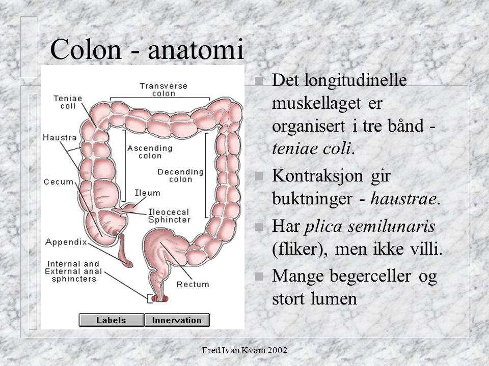 Fred Ivan Kvam 2002 Colon - anatomi n Det longitudinelle muskellaget er organisert i tre bånd - teniae coli. n Kontraksjon gir buktninger - haustrae.