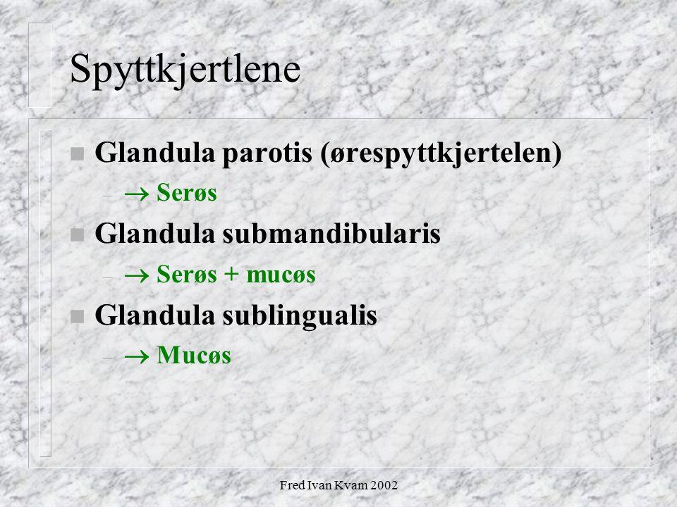 Fred Ivan Kvam 2002 Spyttkjertlene n Glandula parotis (ørespyttkjertelen) –  Serøs n Glandula submandibularis –  Serøs + mucøs n Glandula sublingual