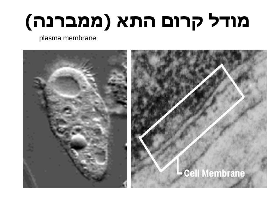 מודל קרום התא (ממברנה) plasma membrane