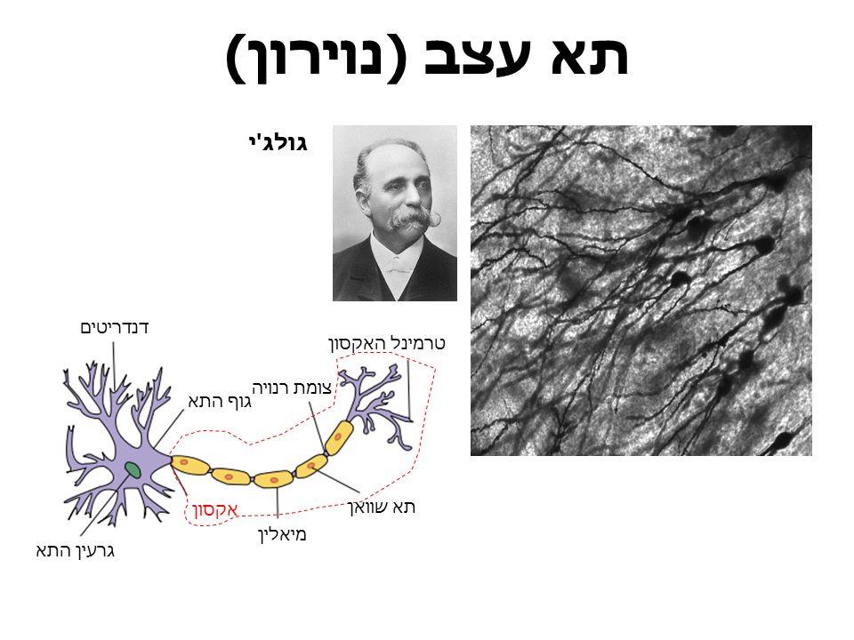 תא עצב (נוירון) גולג'י גוף התא גרעין התא דנדריטים אקסון מיאלין צומת רנויה טרמינל האקסון תא שוואן