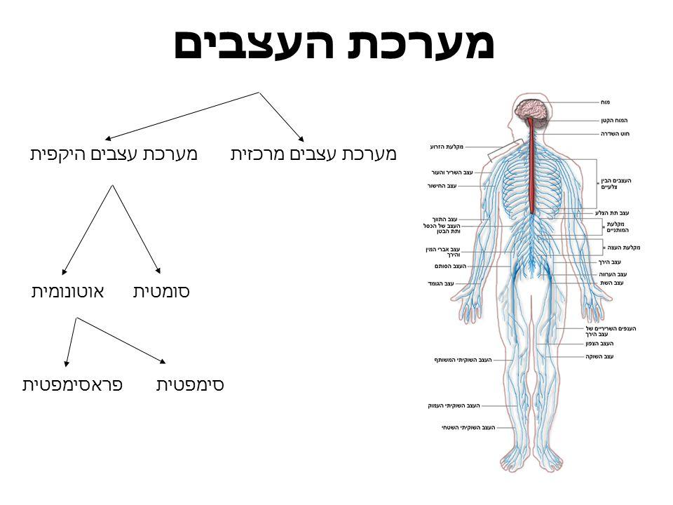 מערכת העצבים מערכת עצבים היקפיתמערכת עצבים מרכזית סומטיתאוטונומית סימפטיתפראסימפטית