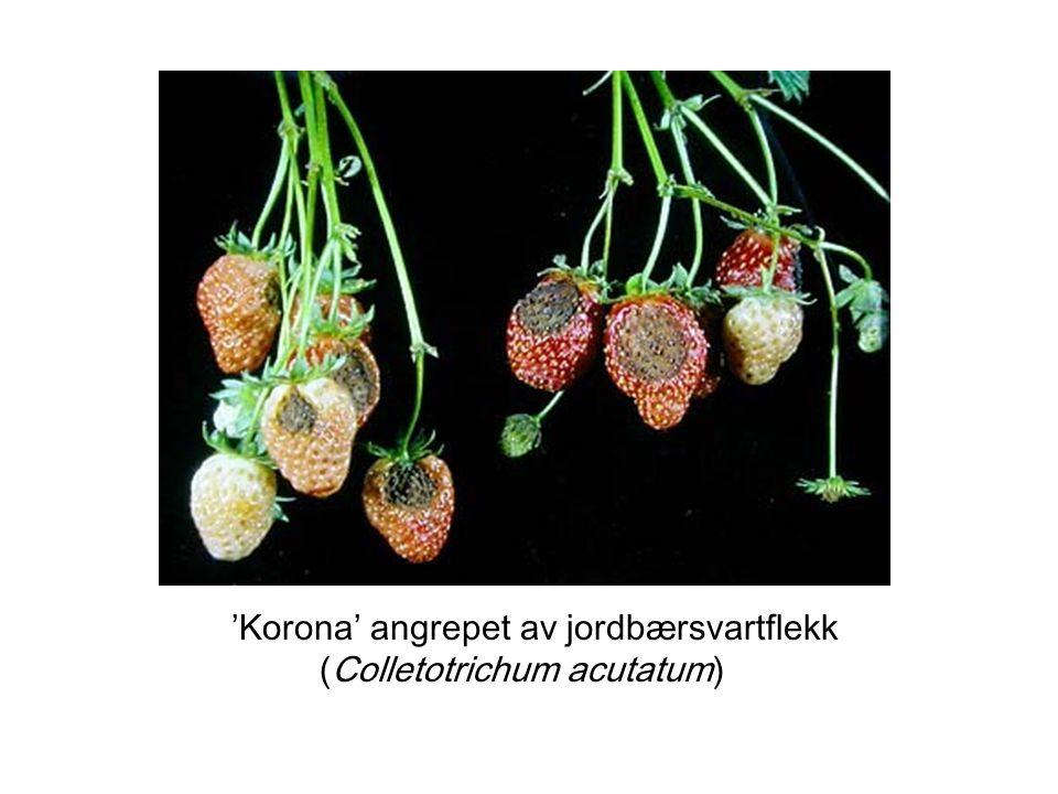 Tiltak hos planteprodusenter (1) Omsetningsforbud for jordbærplanter Destruksjon av plantemateriale for salg Morplantefelt må saneres Forbud mot dyrking av jordbær i minimum to år på gjeldende areal