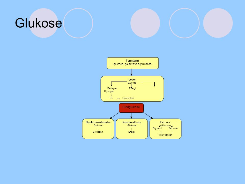 Glukose Lever Glukose Fettsyrer Energi Glykogen ↓ TG → Lipoprotein Tynntarm glukose, galaktose og fruktose Skjelettmuskulatur Glukose ↓ Glykogen Neste