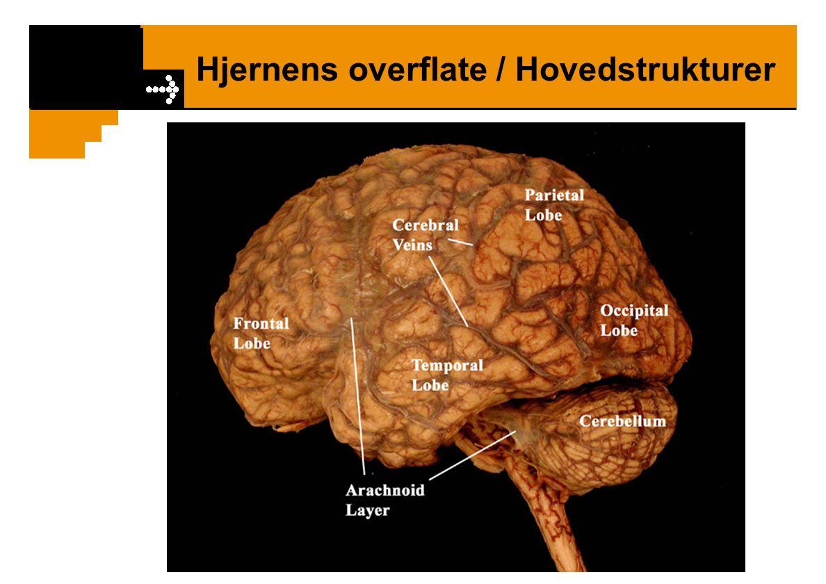 Hjernens overflate / Projeksjonsområder Gyrus pre-centralis Motorisk barkområde Gyrus post-centralis Sensorisk barkområde Motoriske nervebaner (pyramidebanene) og sensoriske baner krysser midtlinjen slik at venstre hemisfære styrer høyre kropphalvdel og omvendt.