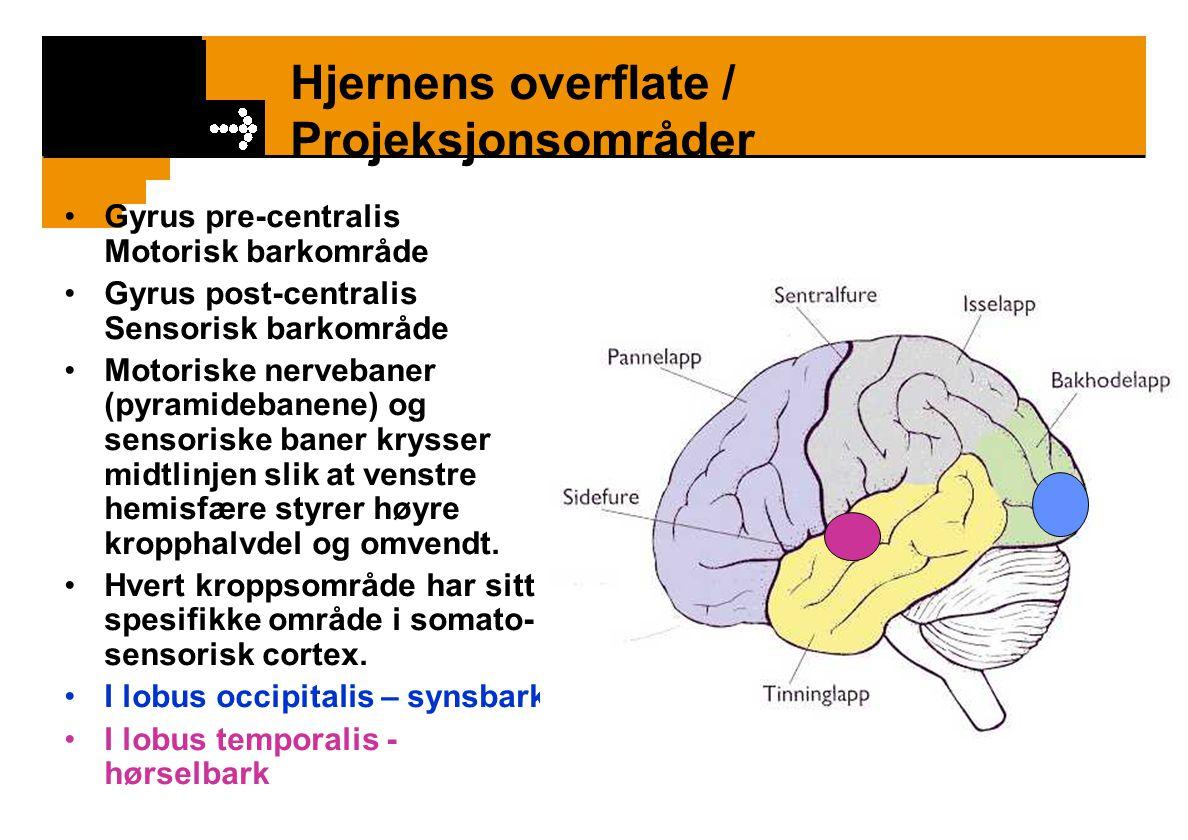 Språk I lobus frontalis (foran motorisk cortex som styrer ansikts- og tungemuskulaturen) – Brocas område – talesenteret.