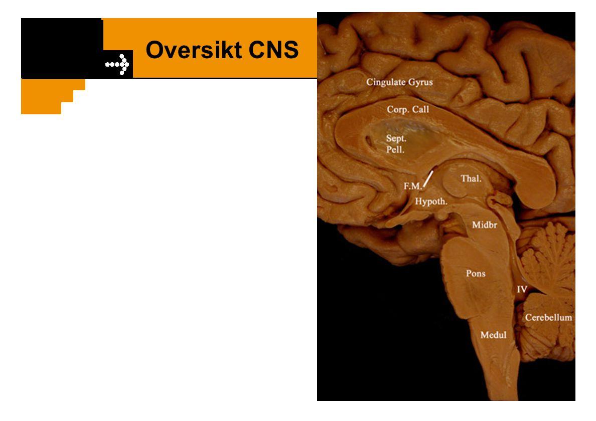 Fysiologisk inndeling av PNS
