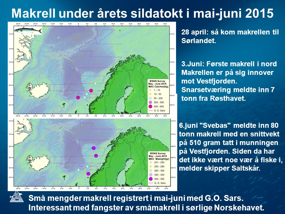 Makrell under årets sildatokt i mai-juni 2015 3.Juni: Første makrell i nord Makrellen er på sig innover mot Vestfjorden. Snarsetværing meldte inn 7 to