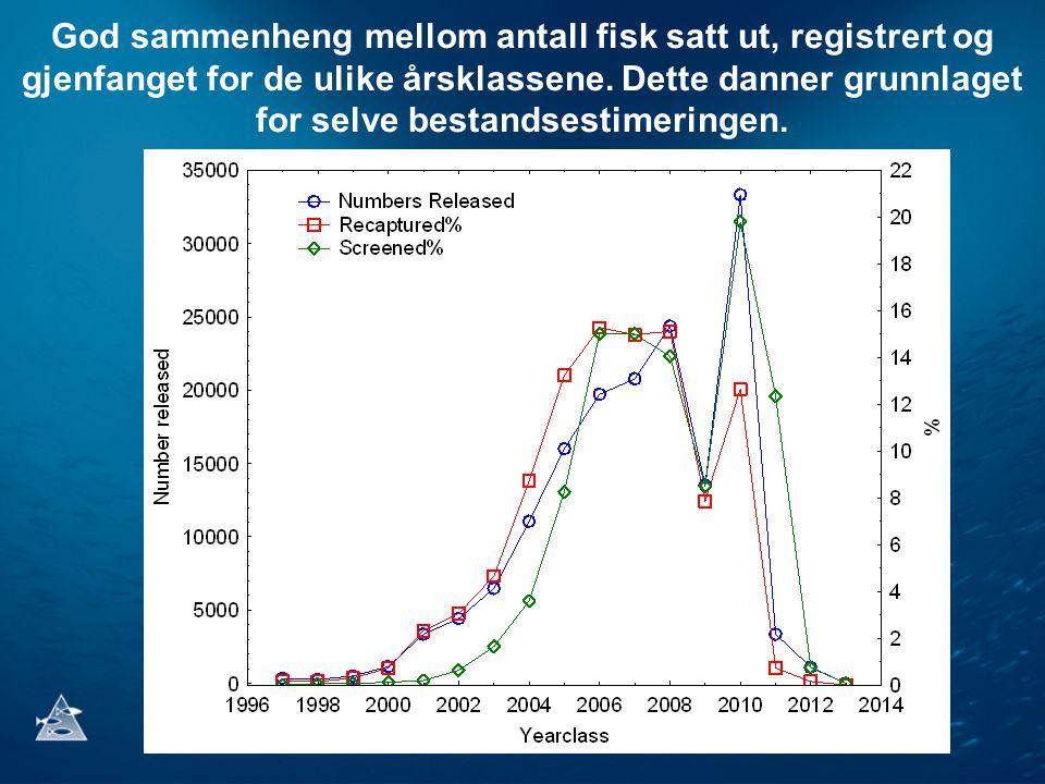 God sammenheng mellom antall fisk satt ut, registrert og gjenfanget for de ulike årsklassene.
