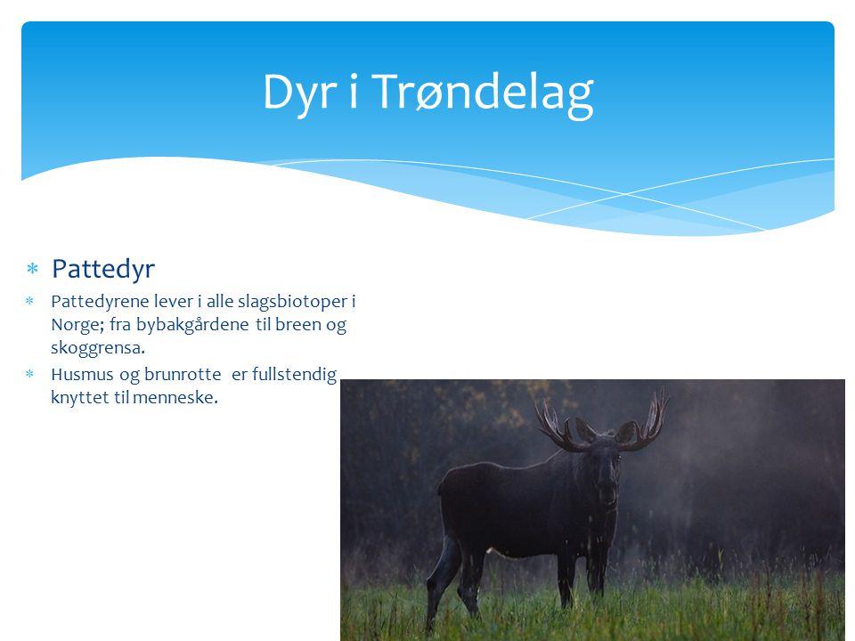 Dyr i Trøndelag  Pattedyr  Pattedyrene lever i alle slagsbiotoper i Norge; fra bybakgårdene til breen og skoggrensa.