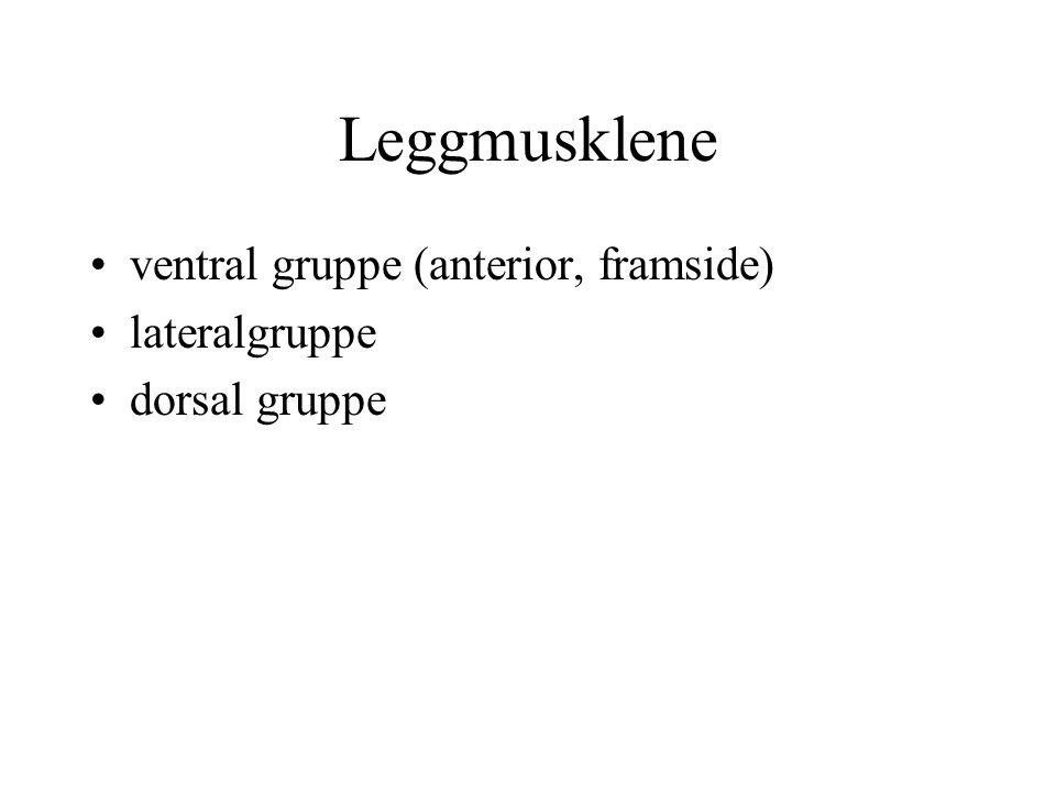 Leggmusklene ventral gruppe (anterior, framside) lateralgruppe dorsal gruppe