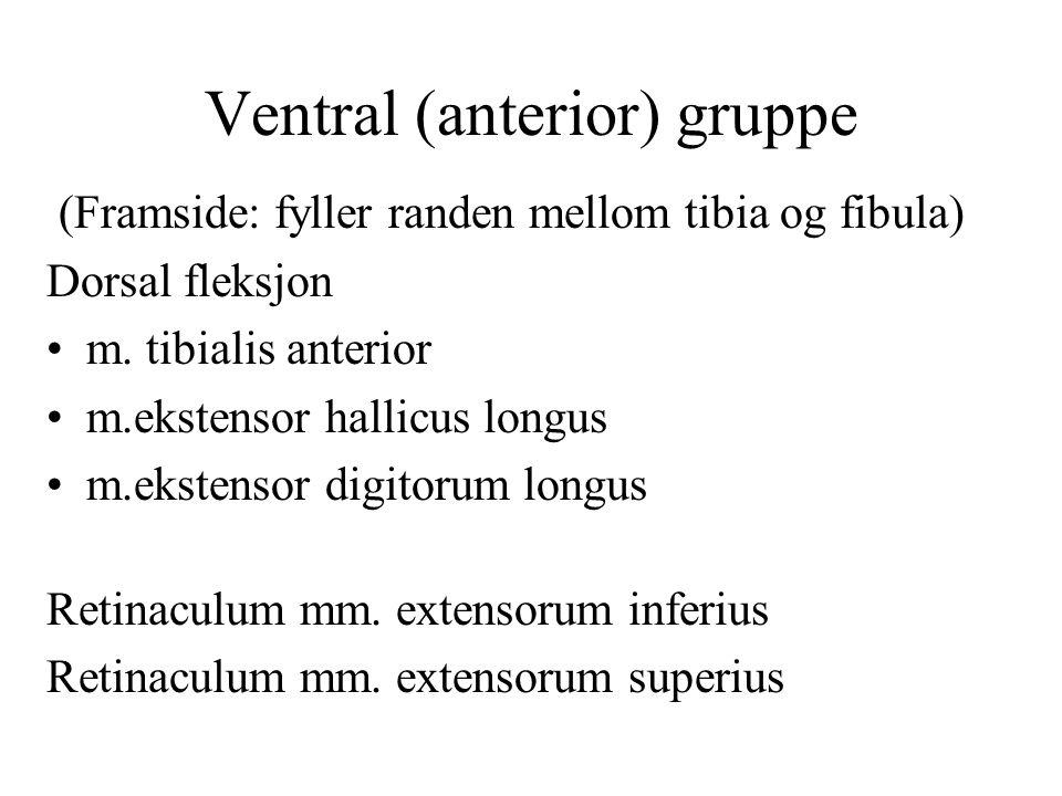 Ventral (anterior) gruppe (Framside: fyller randen mellom tibia og fibula) Dorsal fleksjon m. tibialis anterior m.ekstensor hallicus longus m.ekstenso