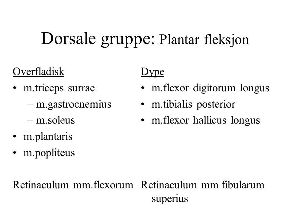Dorsale gruppe: Plantar fleksjon Overfladisk m.triceps surrae –m.gastrocnemius –m.soleus m.plantaris m.popliteus Retinaculum mm.flexorum Dype m.flexor