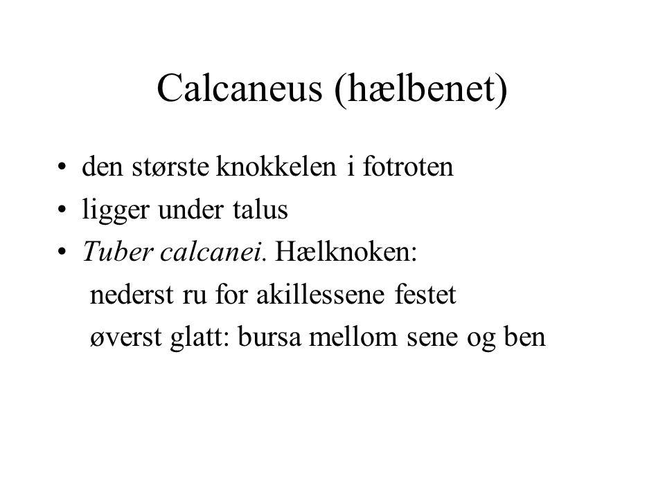 Calcaneus (hælbenet) den største knokkelen i fotroten ligger under talus Tuber calcanei. Hælknoken: nederst ru for akillessene festet øverst glatt: bu