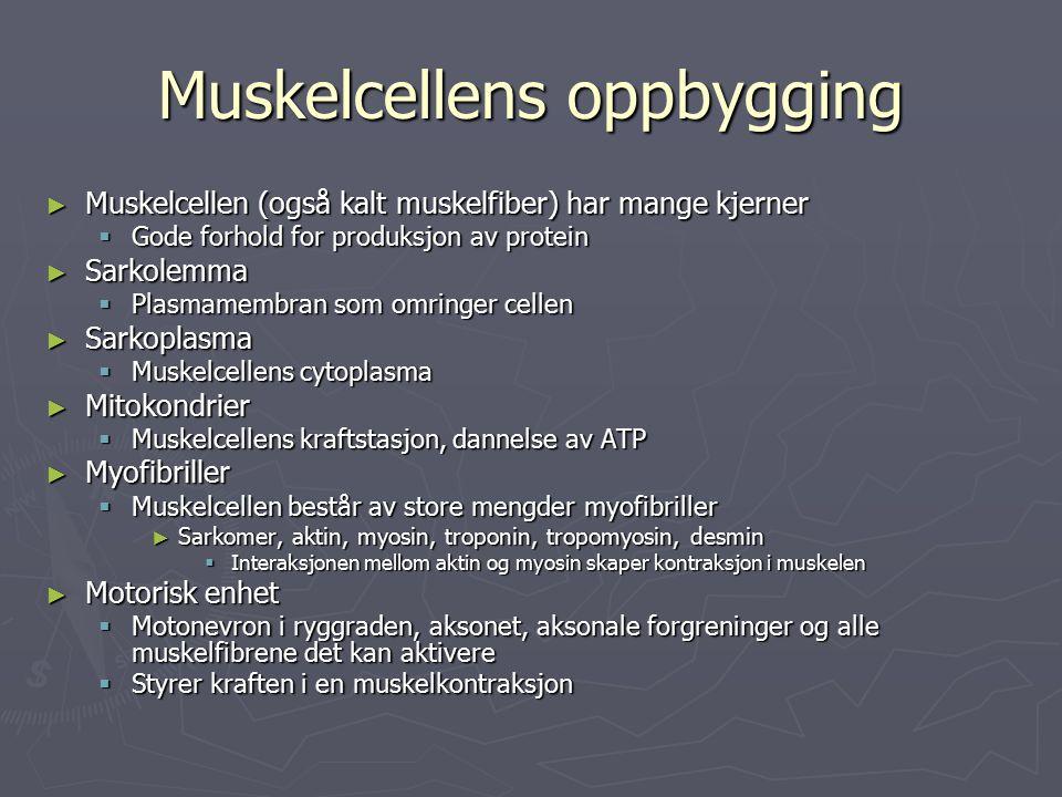 Muskelcellens oppbygging ► Muskelcellen (også kalt muskelfiber) har mange kjerner  Gode forhold for produksjon av protein ► Sarkolemma  Plasmamembran som omringer cellen ► Sarkoplasma  Muskelcellens cytoplasma ► Mitokondrier  Muskelcellens kraftstasjon, dannelse av ATP ► Myofibriller  Muskelcellen består av store mengder myofibriller ► Sarkomer, aktin, myosin, troponin, tropomyosin, desmin  Interaksjonen mellom aktin og myosin skaper kontraksjon i muskelen ► Motorisk enhet  Motonevron i ryggraden, aksonet, aksonale forgreninger og alle muskelfibrene det kan aktivere  Styrer kraften i en muskelkontraksjon