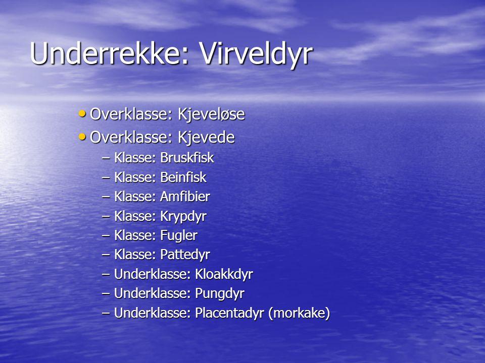 Underrekke: Virveldyr Overklasse: Kjeveløse Overklasse: Kjeveløse Overklasse: Kjevede Overklasse: Kjevede –Klasse: Bruskfisk –Klasse: Beinfisk –Klasse
